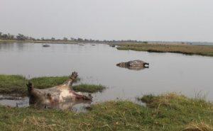 ციმბირის წყლულის ეპიდემიას ნამიბიაში 100-ზე მეტი ბეჰემოთი ემსხვერპლა