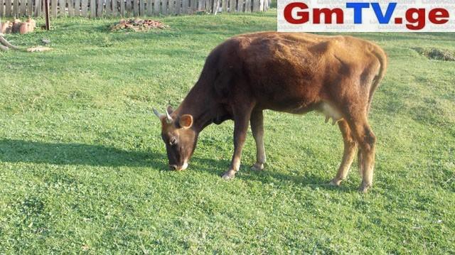 ხუთმა ხარმა ძროხა გააუპატიურა – ძროხა დაკლეს, პატრონი დააჯარიმეს