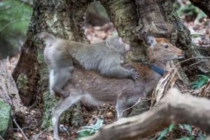 ველური მაიმუნები იაპონურ ირმებს მასობრივად აუპატიურებენ